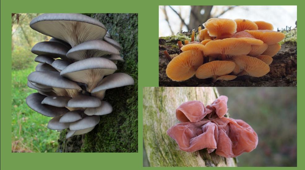 grzyby zimowe uszak bzowy boczniak ostrygowaty płomienica zimowa